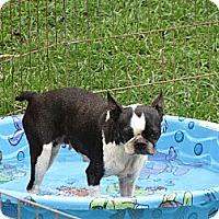 Adopt A Pet :: Izzie - Salem, NH