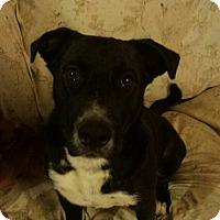 Adopt A Pet :: Duncan, sweetie - Sacramento, CA