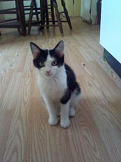 American Shorthair Kitten for adoption in Cleveland, Ohio - Cuddles