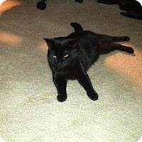 Domestic Shorthair Cat for adoption in Medford, New Jersey - Boo Boo Kitty