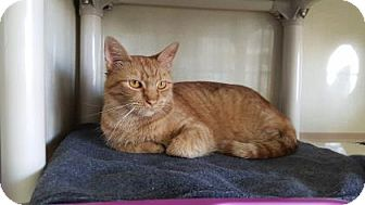 Domestic Shorthair Cat for adoption in Fort Collins, Colorado - Rusty