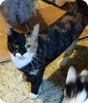 Calico Cat for adoption in Warren, Michigan - Taliana
