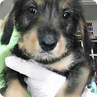 Adopt A Pet :: Samantha - Jarrell, TX