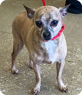 Chihuahua Mix Dog for adoption in Garland, Texas - Little Ricky