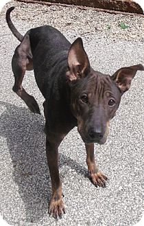 Shar Pei/Doberman Pinscher Mix Dog for adoption in Muskegon, Michigan - Dee Dee
