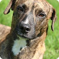 Adopt A Pet :: Breah - Joliet, IL