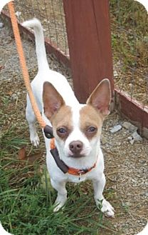 Jack Russell Terrier/Chihuahua Mix Dog for adoption in Columbia, Tennessee - Toby/TN