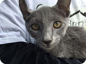 Russian Blue Kitten for adoption in Philadelphia, Pennsylvania - Noodle