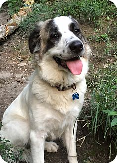 Great Pyrenees/St. Bernard Mix Dog for adoption in Pittsburgh, Pennsylvania - Gracie