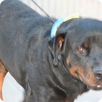 Rottweiler Mix Dog for adoption in Wildomar, California - Himhoy