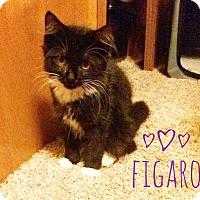Domestic Longhair Kitten for adoption in Kendallville, Indiana - Figaro