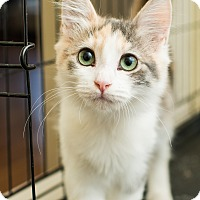 Domestic Mediumhair Kitten for adoption in Los Angeles, California - Angelina