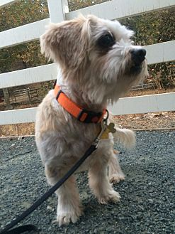 Lhasa Apso Mix Dog for adoption in Clayton, California - Ichigo