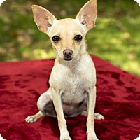 Chihuahua Dog for adoption in Alvin, Texas - Tiny Milagra-S
