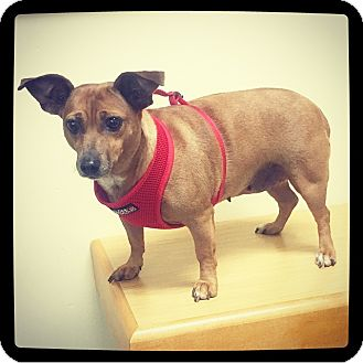 Dachshund Mix Dog for adoption in Grand Bay, Alabama - Pixie