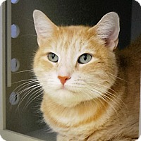 Domestic Shorthair Cat for adoption in Casa Grande, Arizona - Tigger