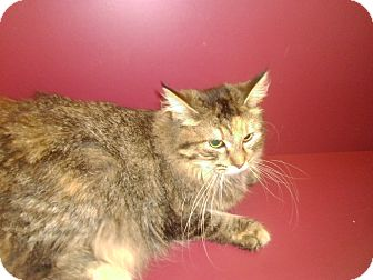 Domestic Longhair Cat for adoption in Muscatine, Iowa - Cassidy