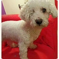 Poodle (Miniature) Mix Dog for adoption in Tucson, Arizona - Heisenberg
