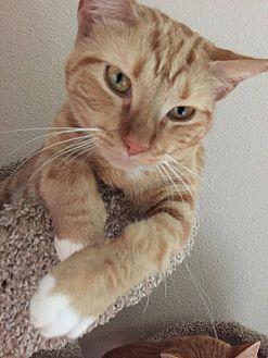 Domestic Shorthair Kitten for adoption in Houston, Texas - Honey