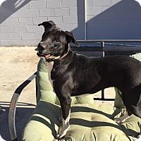 Adopt A Pet :: Lacy - Westport, CT