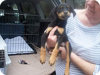 Rottweiler/Shepherd (Unknown Type) Mix Puppy for adoption in Germantown, Maryland - Kelley