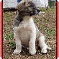 Adopt A Pet :: Lara - Brattleboro, VT