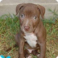 Adopt A Pet :: Hobbes - Austin, TX