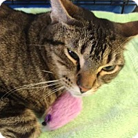 Adopt A Pet :: Felix - Gaithersburg, MD