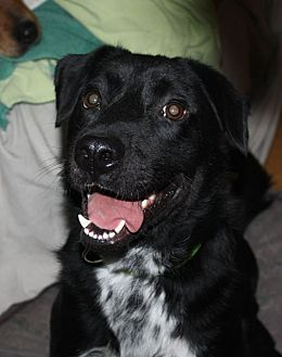 Labrador Retriever/Border Collie Mix Dog for adoption in Marion, Arkansas - Jameson