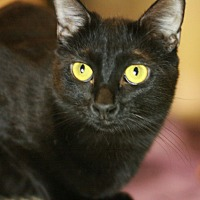 Domestic Shorthair Cat for adoption in Canoga Park, California - Zelda