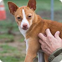 Adopt A Pet :: Foxy - Patterson, CA