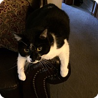 Adopt A Pet :: Smudge-Adopted! - Akron, OH