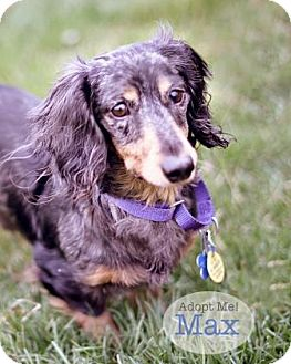 Dachshund Dog for adoption in West Des Moines, Iowa - Max