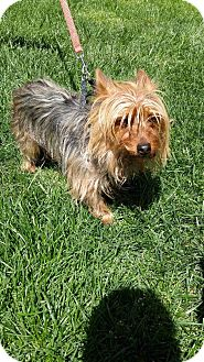 Yorkie, Yorkshire Terrier Mix Dog for adoption in Fallston, Maryland - Chewie