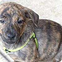 Adopt A Pet :: Lovey - Memphis, TN