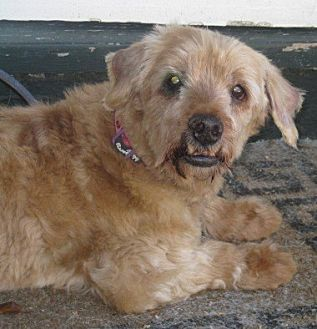 Poodle (Miniature)/Dachshund Mix Dog for adoption in Clayton, California - Paddy Cakes