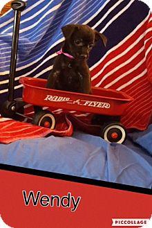 Chihuahua Mix Puppy for adoption in Scottsdale, Arizona - Wendy