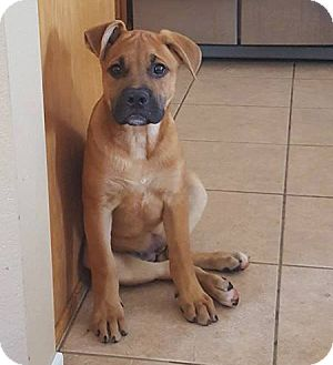 German Shepherd Dog/American Bulldog Mix Puppy for adoption in San Diego, California - Rosie