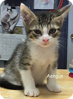 Domestic Shorthair Kitten for adoption in Cliffside Park, New Jersey - AENGUS