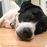 Adopt A Pet :: Mark Twain - Brooklyn, NY