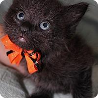Adopt A Pet :: Shadow - Jefferson, NC