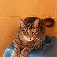 Adopt A Pet :: Tabby - Crossville, TN