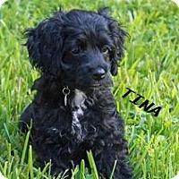 Adopt A Pet :: Tina Turner - El Cajon, CA