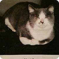 Domestic Shorthair Cat for adoption in Minneapolis, Minnesota - Annie