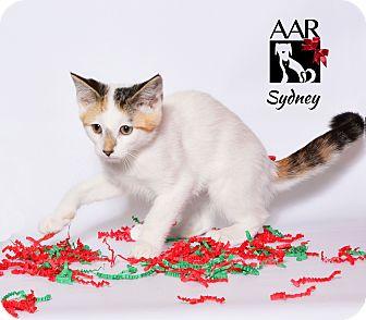 Domestic Mediumhair Kitten for adoption in Tomball, Texas - Sydney
