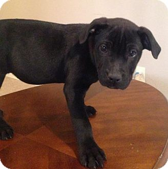 American Pit Bull Terrier Puppy for adoption in Fulton, Missouri - Trever - Tennessee