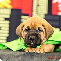 Adopt A Pet :: Gamora - Glastonbury, CT