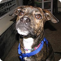 Adopt A Pet :: Billy Jean - Gilbertsville, PA