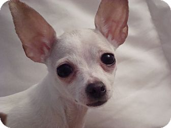 Chihuahua Dog for adoption in Romeoville, Illinois - *ADOPTED* Candy