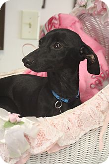 Dachshund Mix Dog for adoption in Marietta, Georgia - Gypsy